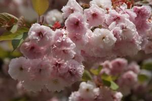 Weiss-rosa Zierkirschen-Baumblüte Raabestrasse, 01.05.2015