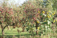 fruchtvolle Apfelbäume und Sonnenblumen, Obersdorf, 03.10.2017