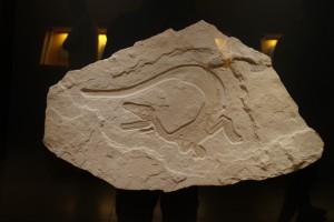 Saurierfossil, Museum Solnhofen